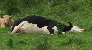800px-Cow_lying_on_side